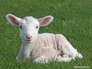 Meet a Baby Lamb @ Taylor Community Library | Taylor | Pennsylvania | United States